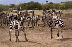 Zebra Prancing Fotografie Stock