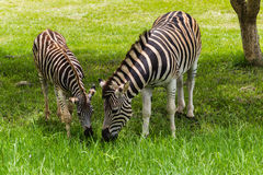 Zebra Pregnant Foal Summer Royalty Free Stock Photos