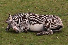Zebra preguiçosa Imagem de Stock