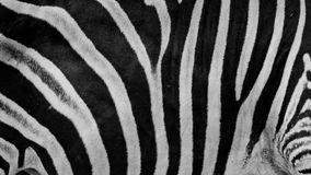 Zebra print, animal skin, tiger stripes, abstract pattern, line