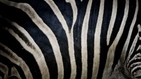 Zebra print, animal skin, tiger stripes, abstract pattern, line. Background, fabric. Amazing hand drawn illustration. Poster, banner. Black and white artwork royalty free stock photos