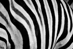 Zebra print design and seamless pattern in black and white and colors. Zebra print design and seamless texture and pattern of an actual Zebra during a safari in stock image