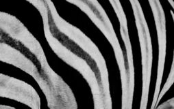Zebra print design and seamless pattern in black and white and colors. Zebra print design and seamless texture and pattern in a game reserve stock images