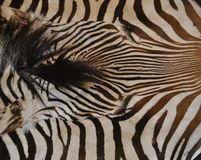 Zebra print. Rug with head outline royalty free stock photo