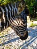 Zebra in profiel Stock Foto's