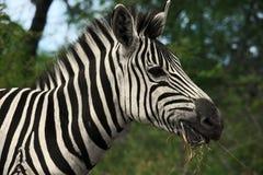 Zebra profil Zdjęcia Stock