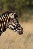 Zebra profile Royalty Free Stock Image