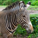 Zebra profile and head shot royalty free stock images