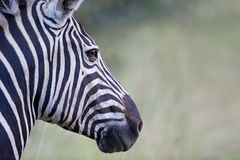 Zebra profile stock photo