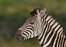 Zebra profile Royalty Free Stock Images