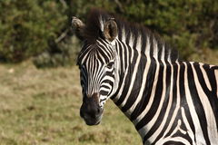 Zebra Profile Stock Photo
