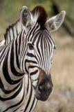 Zebra Profile. A profile of an African Zebra Stock Image