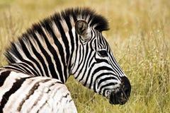Zebra face profile - photo#23