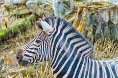 The Zebra in the profile Royalty Free Stock Photos