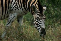 Zebra profile Stock Photos