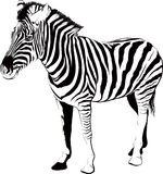 Zebra in profile Royalty Free Stock Images