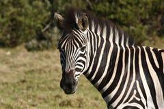 zebra profilowa Zdjęcie Stock