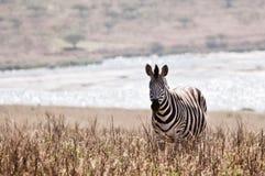 Zebra przed jeziorem Fotografia Stock