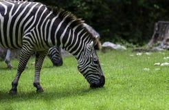 Zebra przy NC zoo Zdjęcie Royalty Free