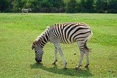 Zebra przy safari światem Obrazy Royalty Free