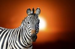 Zebra przy zmierzchem Zdjęcie Royalty Free