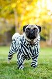 Zebra Pug. A pug dressed in his best zebra suit Stock Photo