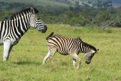 Zebra pushing her young Stock Photo