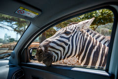 Zebra put his head in car and waiting food from tourist Royalty Free Stock Photography