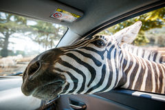 Zebra put his head in car and waiting food from tourist Stock Photo