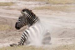 Zebra pyłu skąpanie Obrazy Royalty Free