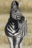 Zebra (quagga) del Equus - Botswana Fotografia Stock