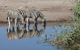 Zebra (quagga) del Equus - Namibia Immagine Stock