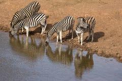 Zebra quatro no furo molhando imagem de stock royalty free