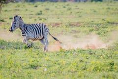 Zebra que é corredor perseguido na grama imagem de stock