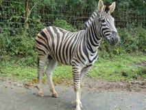Zebra que anda na estrada Foto de Stock
