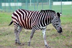 Zebra que anda na grama verde no aviário Fotografia de Stock Royalty Free
