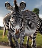 Zebra que anda para a câmera Fotografia de Stock Royalty Free