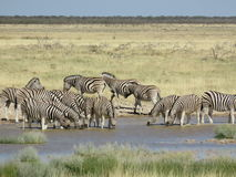 Zebra que bebe em Waterhole, Etosha, Namíbia Fotografia de Stock