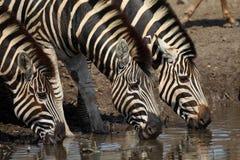 Zebra que bebe no parque nacional de Kruger Imagem de Stock