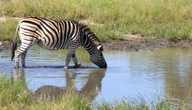 Zebra que bebe no rio Fotografia de Stock
