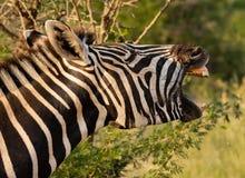 Zebra que boceja imagens de stock