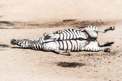Zebra que chafurda na terra empoeirada Animal engraçado África imagens de stock royalty free