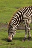 Zebra que come a grama fotografia de stock