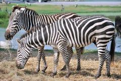 Zebra que come a grama. Fotos de Stock