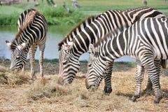Zebra que come a grama. Foto de Stock