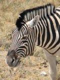 Zebra que come a grama Fotos de Stock