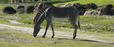 Zebra que come a grama Imagens de Stock Royalty Free