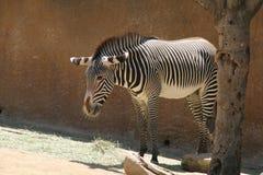 Zebra que come a grama - jardim zoológico de Los Angeles Fotografia de Stock Royalty Free