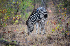 Zebra que come a grama no flield Imagem de Stock Royalty Free