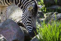 Zebra que come plantas Imagens de Stock